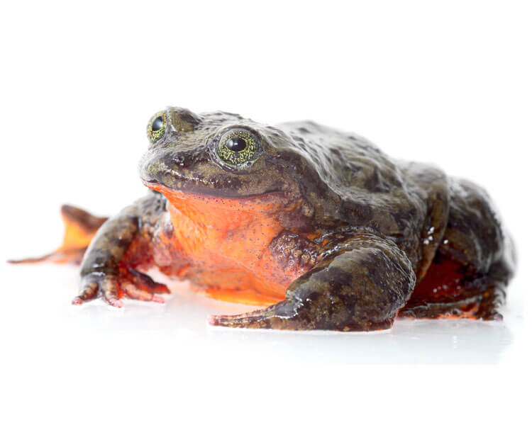 "a Sehuencas Water Frog ""Romeo"", who is believed to be the last vulnerable specie"