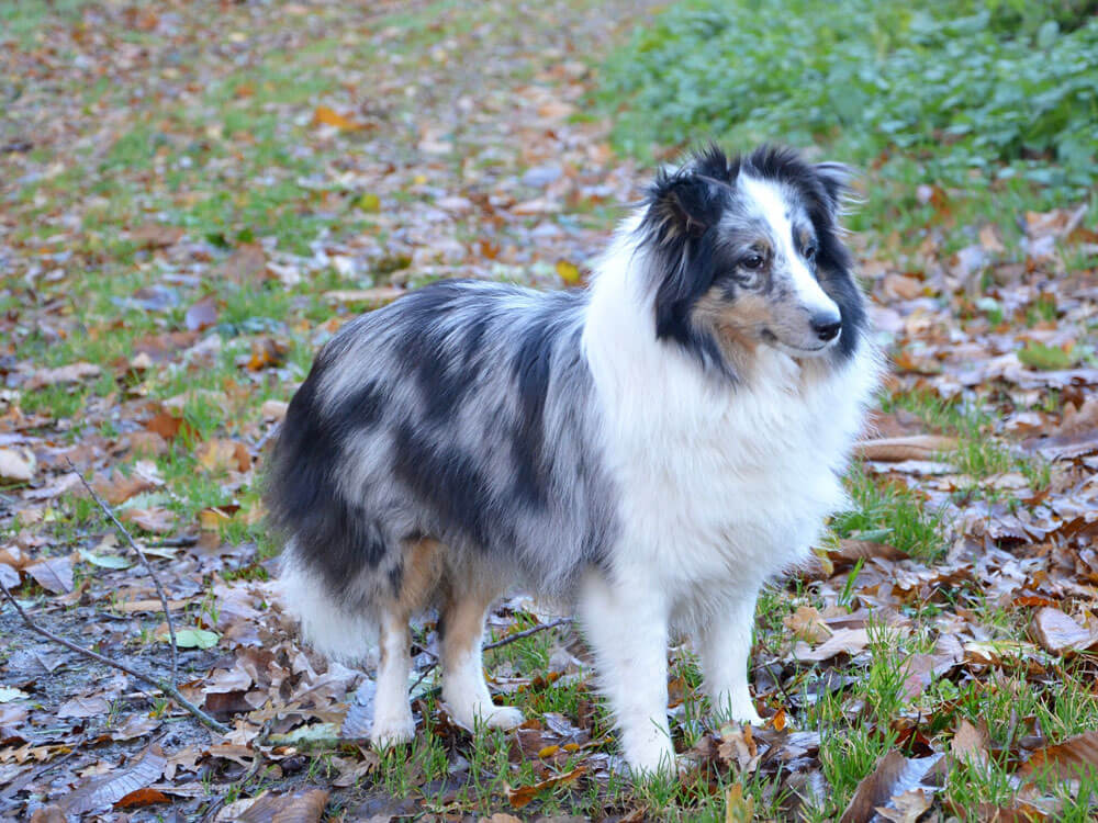 shetland sheepdog, one of the smartest small dog breed
