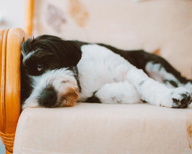 a sick dog lying in a sofa