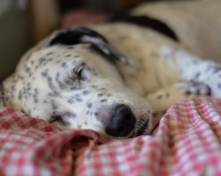 sleeping dog twitching