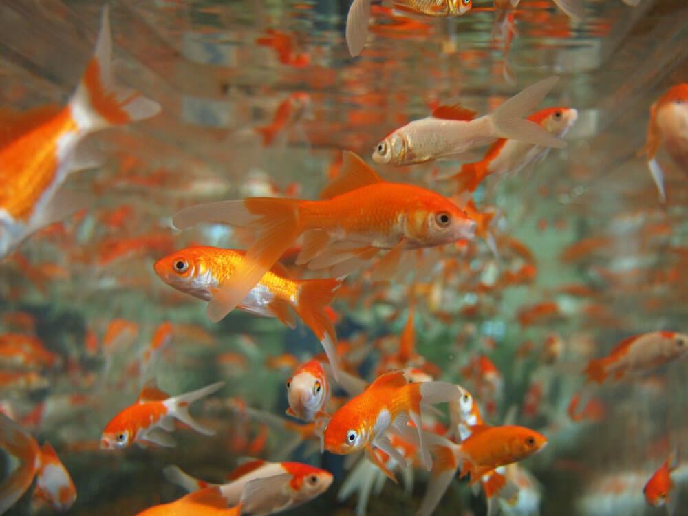a glint of goldfish
