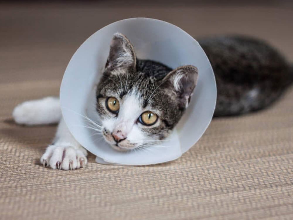 a cat wearing a cone collar after spaying