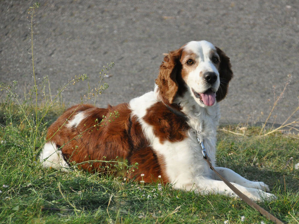 springer spaniel, 4th place in Britain's top 100 dogs 2019