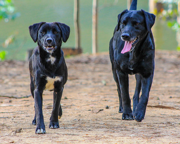 two black dogs walking together