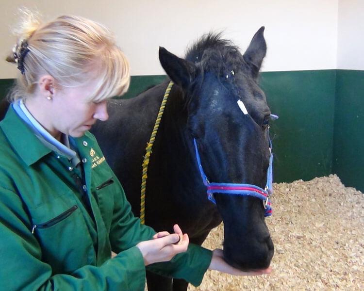 a vet giving an oral medicine to a horse