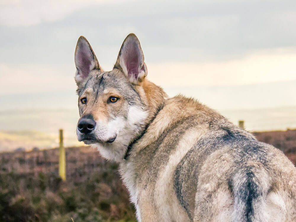 the differences between wolf, dog and wolfdog