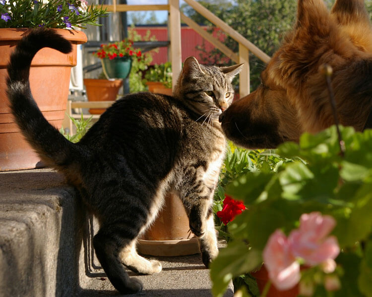 a cat gets anxious when the dog approach