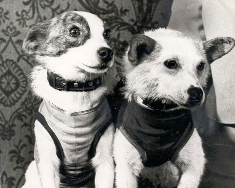 belka and strelka, the two dogs which successfully sent to orbit along with other animals