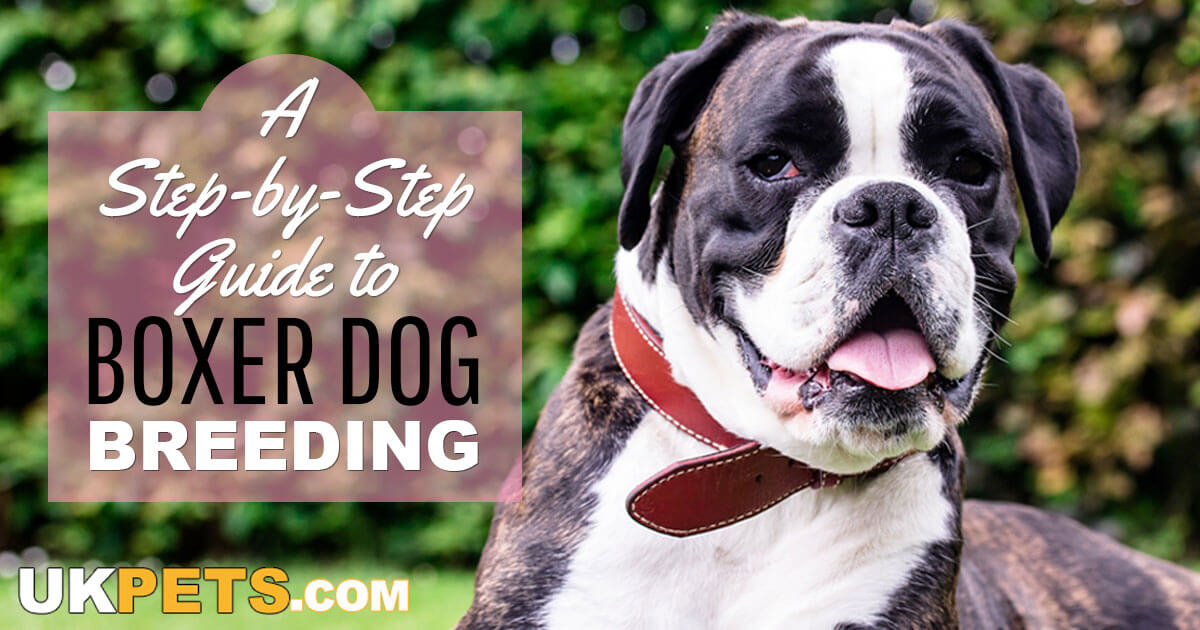 Guide to Breeding Boxer Dogs | UK Pets