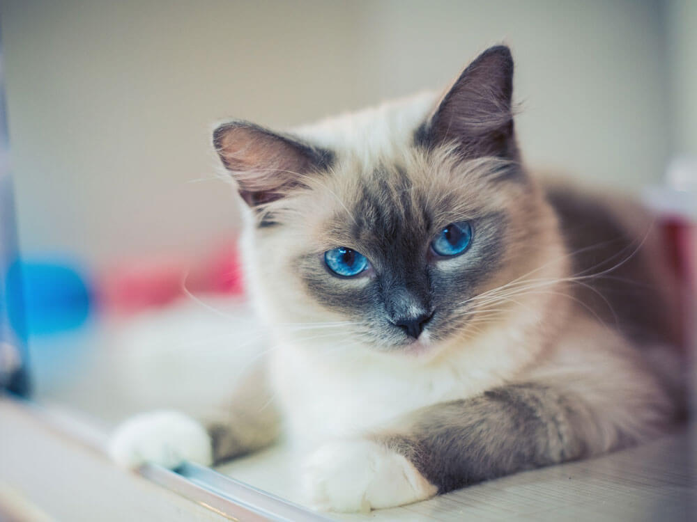 Do You Know Your Cat's Blood Type