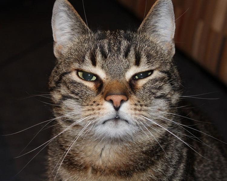 a cat with a smug face