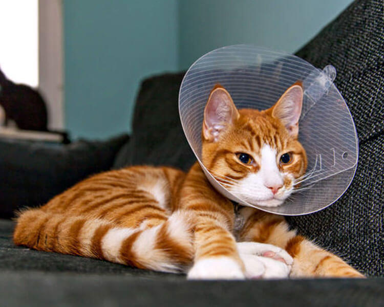 a cat wearing a cone collar after surgery