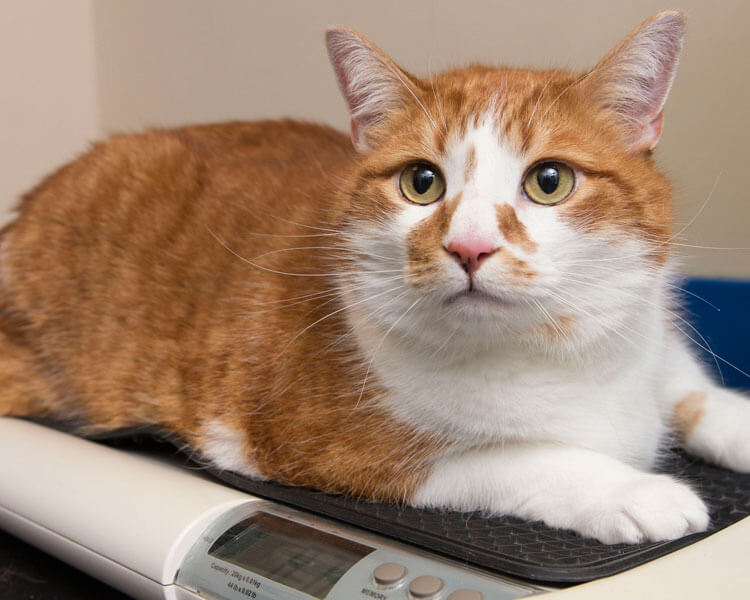a cat weighing after a training from the PDSA Pet Slimming Competition