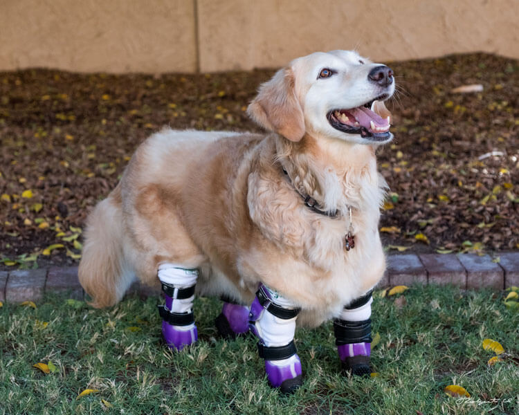 chi chi, a golden retriever dog awarded as American Humane's 2018 Therapy Dog