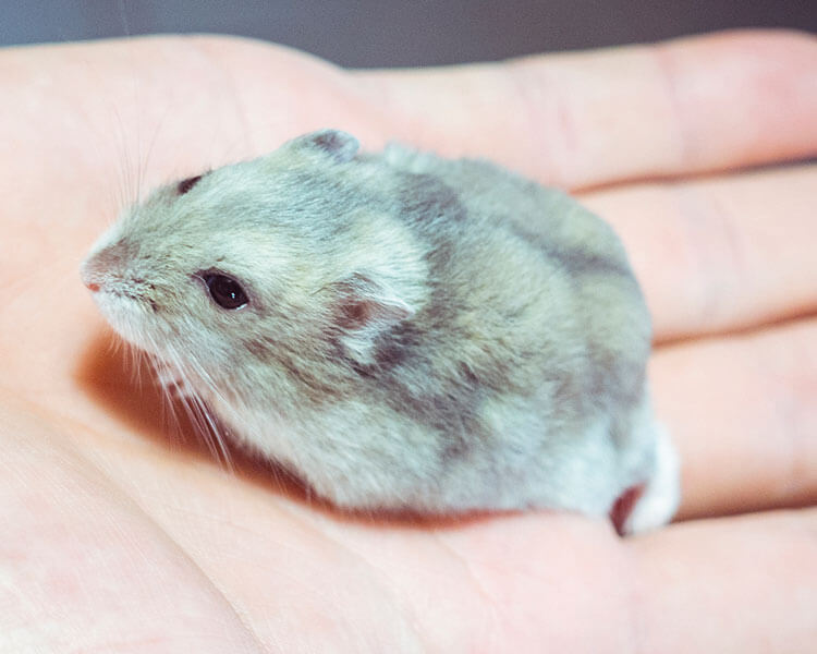 chinese striped hamster