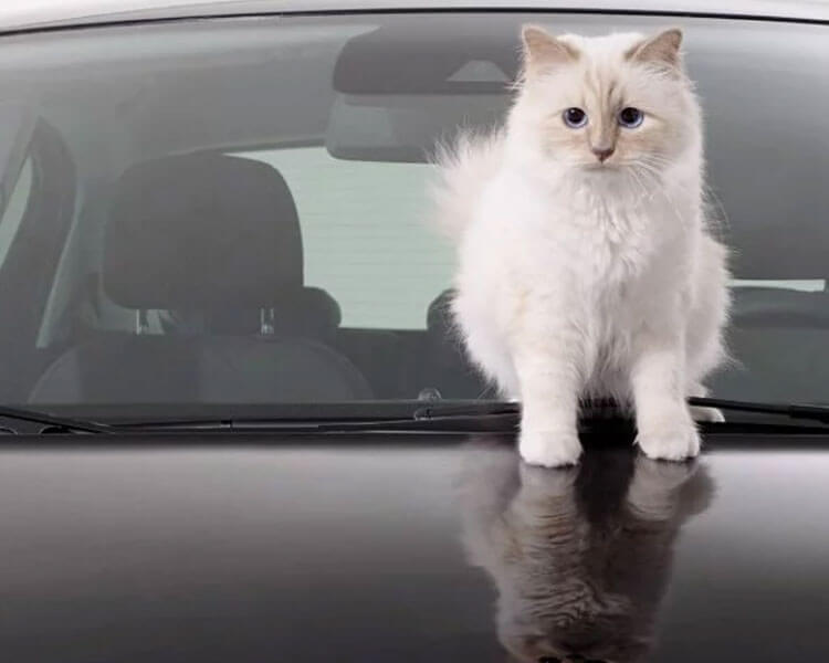 choupette lagerfeld, a cat owned by chanel's fashion designer karl lagerfeld, posed on the car for a magazine