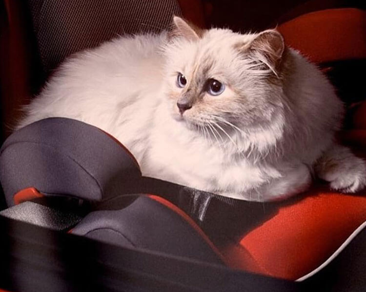 choupette lagerfeld, owned by one chanel fashion designer, Karl Lagerfeld, who just recently passed away