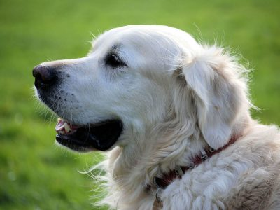 Understanding and Managing Dog Dementia
