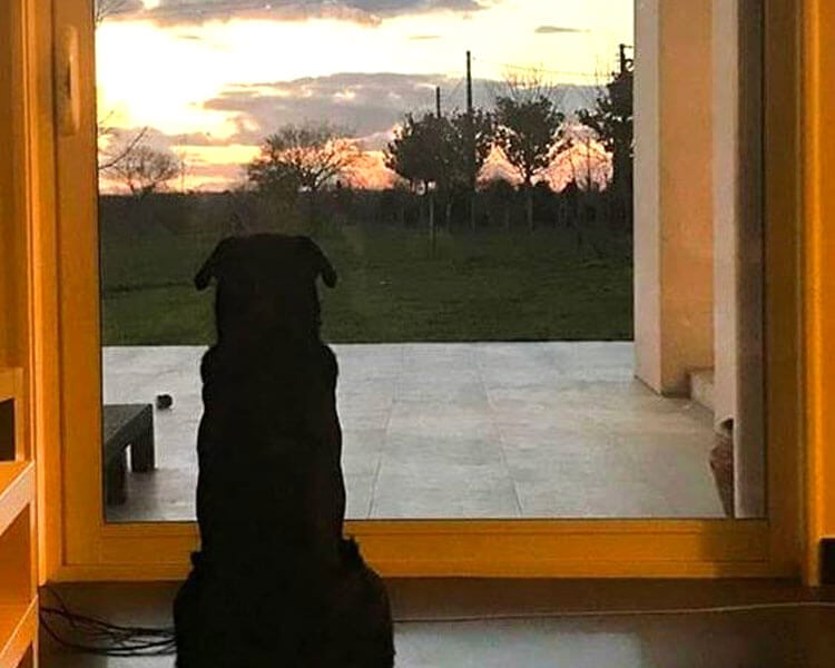 Nala, a black labrador dog owned by emiliano sala, still waiting for him at their home's door