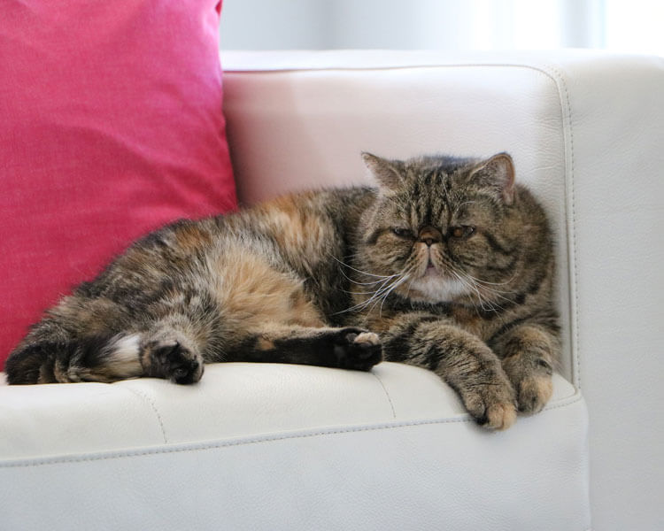 an exotic shorthair cat which potentially has a type AB blood