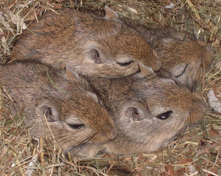 four gerbils sleeping together