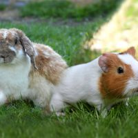 Which Is a Better Pet?: Guinea Pig vs Rabbit