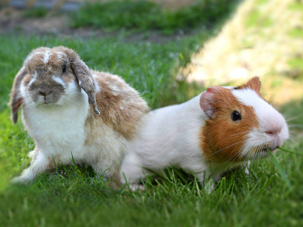 What's Best for You? Guinea Pigs or Rabbits?