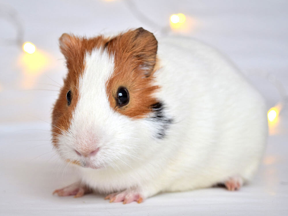 guinea pig as a pet