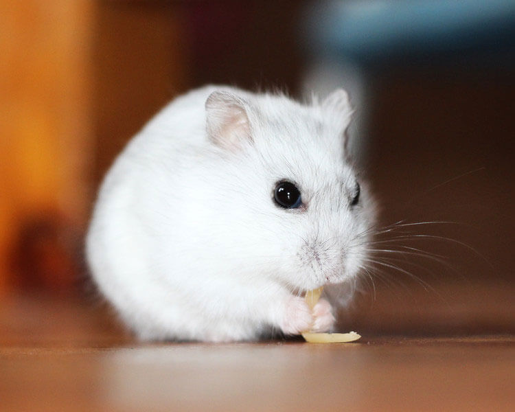 a hamster eating a nut