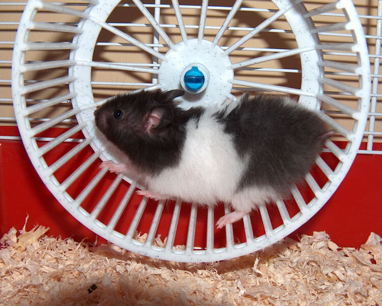 a hamster running in the wheel