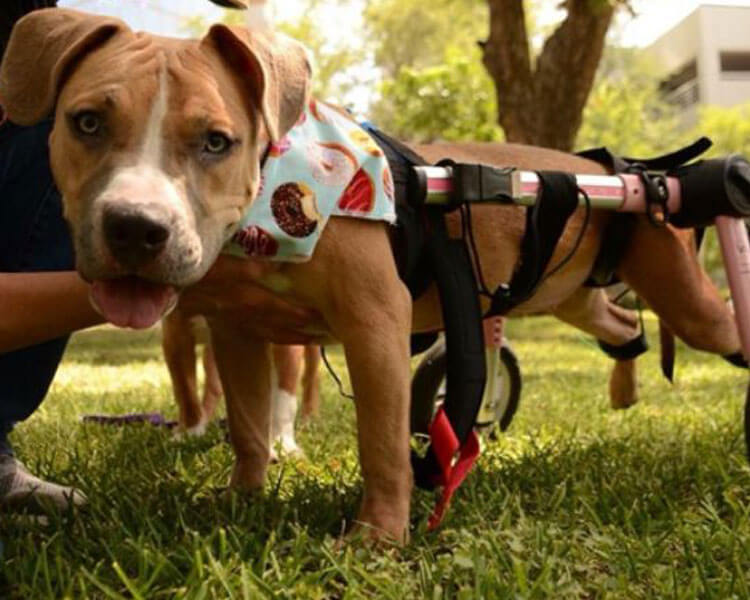 Effie Brown, a disabled rescue dog, the first ever Pitbull and wheelchair dog to walk on the NYC Pet Fashion Show runway