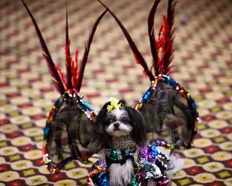 a dog looks devilish and stunning in its bright multi-coloured dress and red long wing feathers
