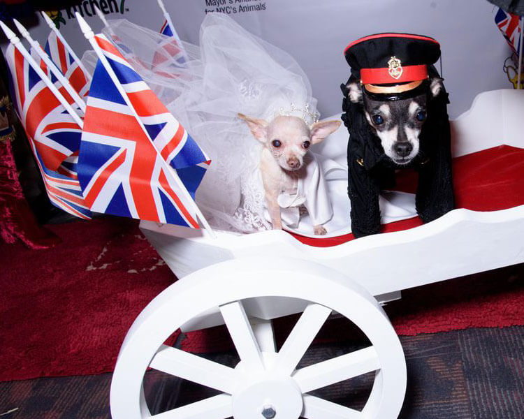 two dogs dressed as a newlywed for a pet fashion show