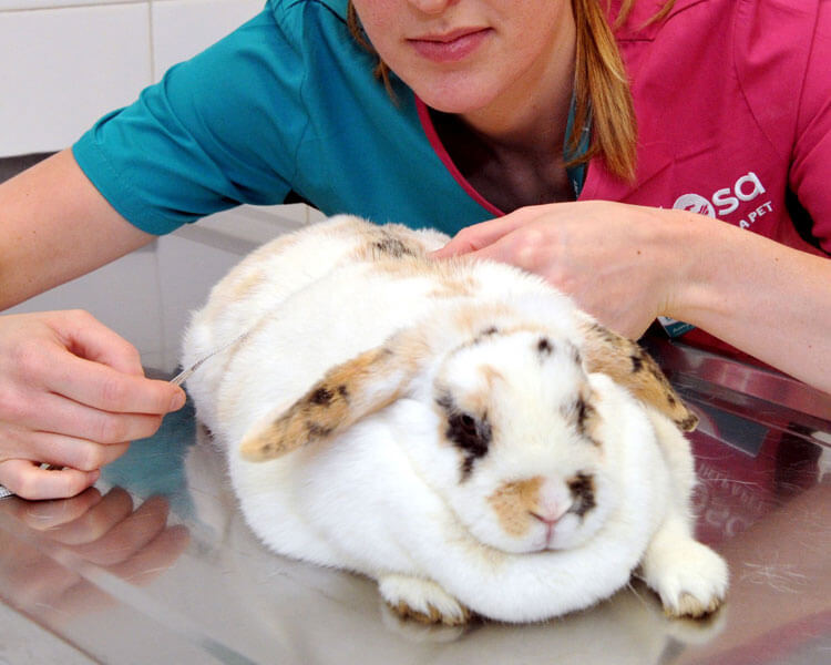 a woman measuring a rabbits body to qualify for the PDSA pet slimming competition
