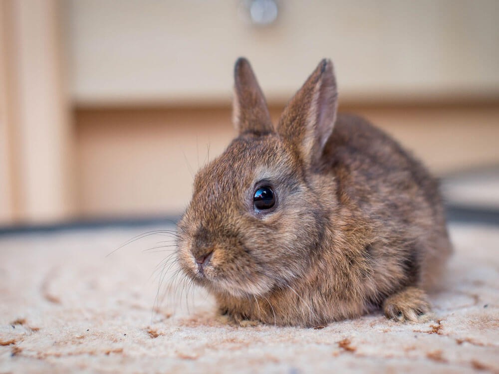 5 Things to Consider Before Getting a New Bunny