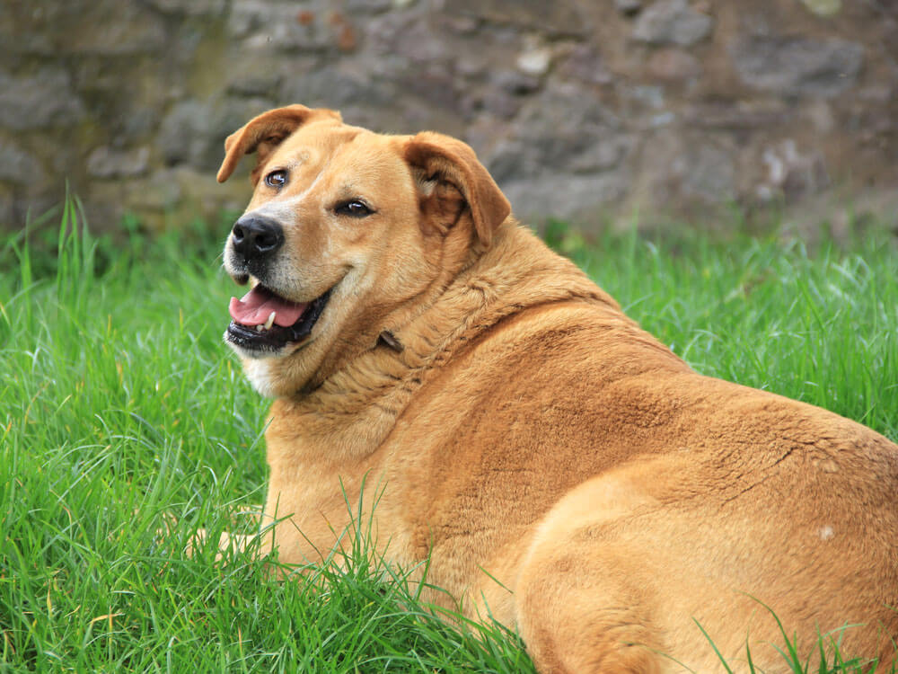 Plump Pets for PDSA Pet Slimming Competition