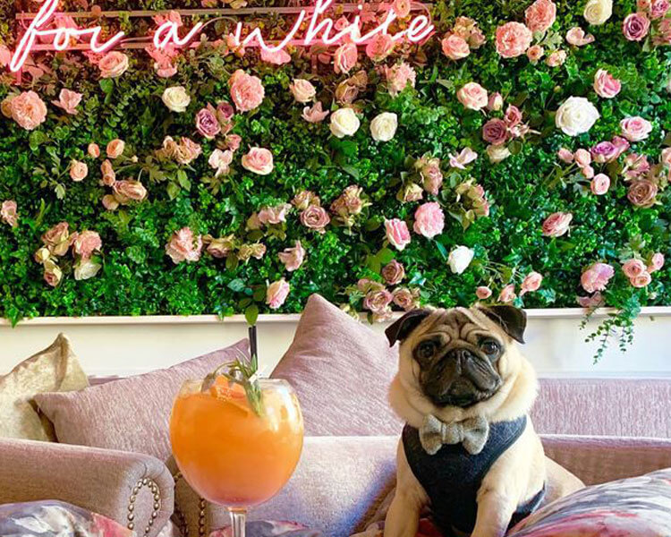 a pug sitting on a sofa in a Dachshund and Pug Café in Bristol