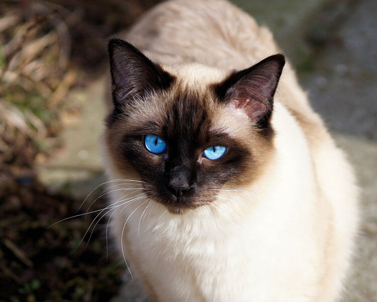 a siamese cat which potentially has a type A blood