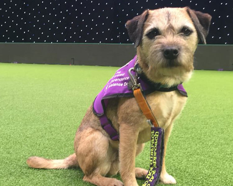 sir jack spratticus, a border terrier, one of the five rescue dogs winning for crufts 2018