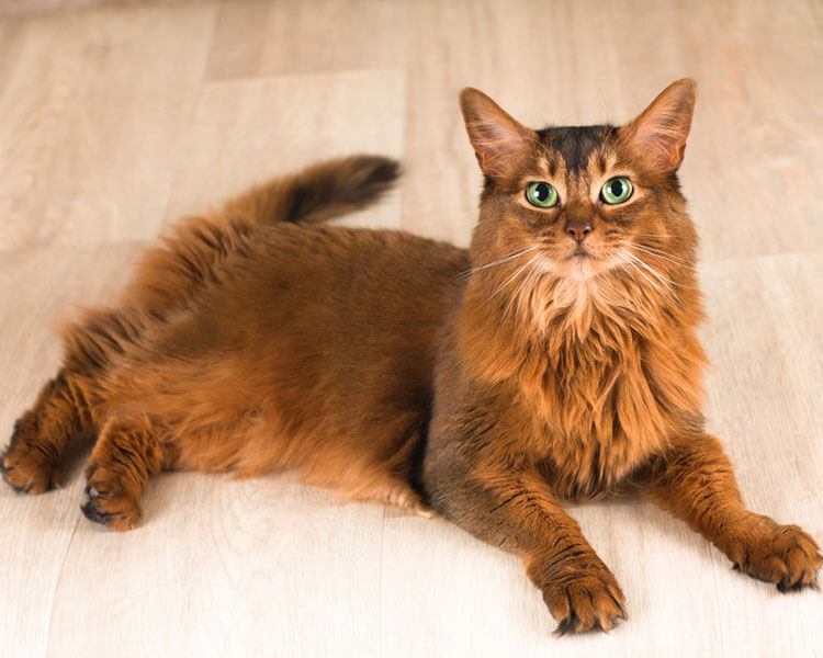 a somali cat which potentially has a type B blood