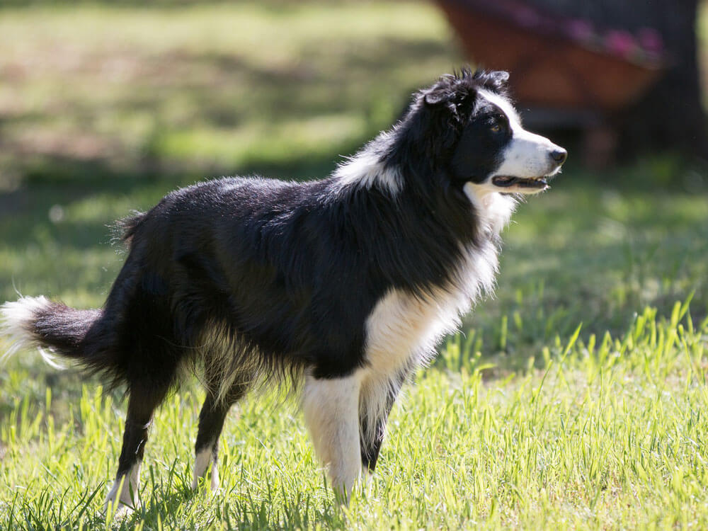 an alert border collie looking into the distance