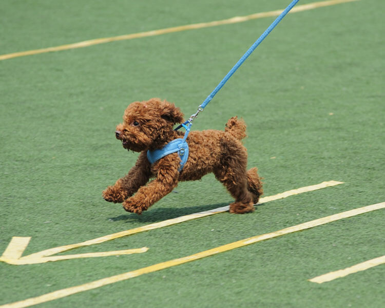 toy poodle running for an agility test