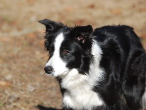 Fall in Love with Border Collies with These Six Amazing Facts