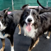 3 Easy Steps in Grooming a Border Collie