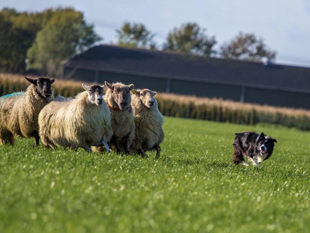 border collie herding sheeps