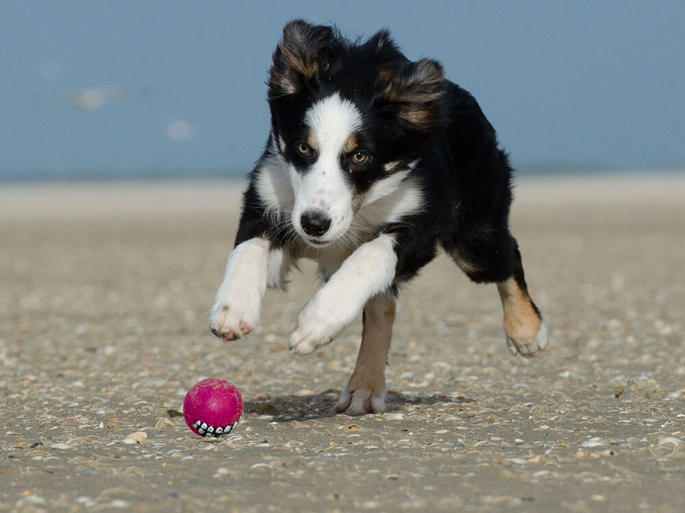 a border collie puppy fetching a ball