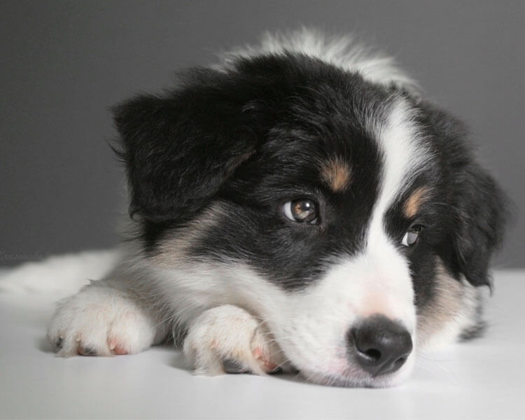 a border collie puppy with an adorable paws