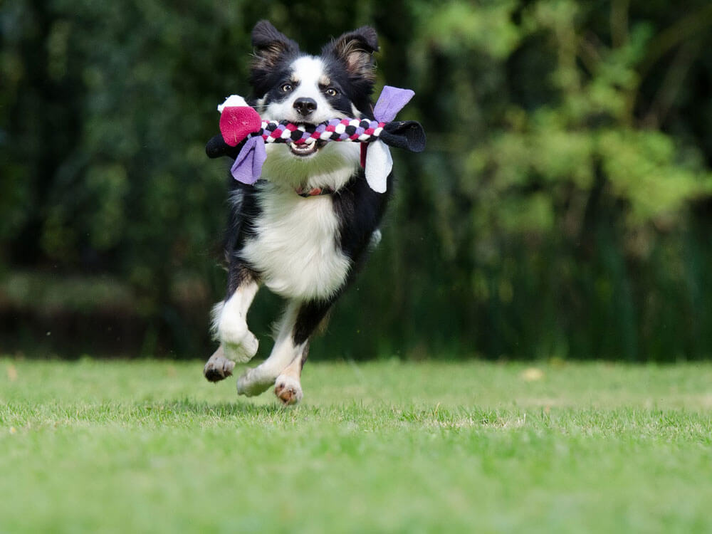 a border collie running while biting a braided cloth