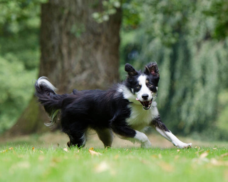 a border collie running on the grass