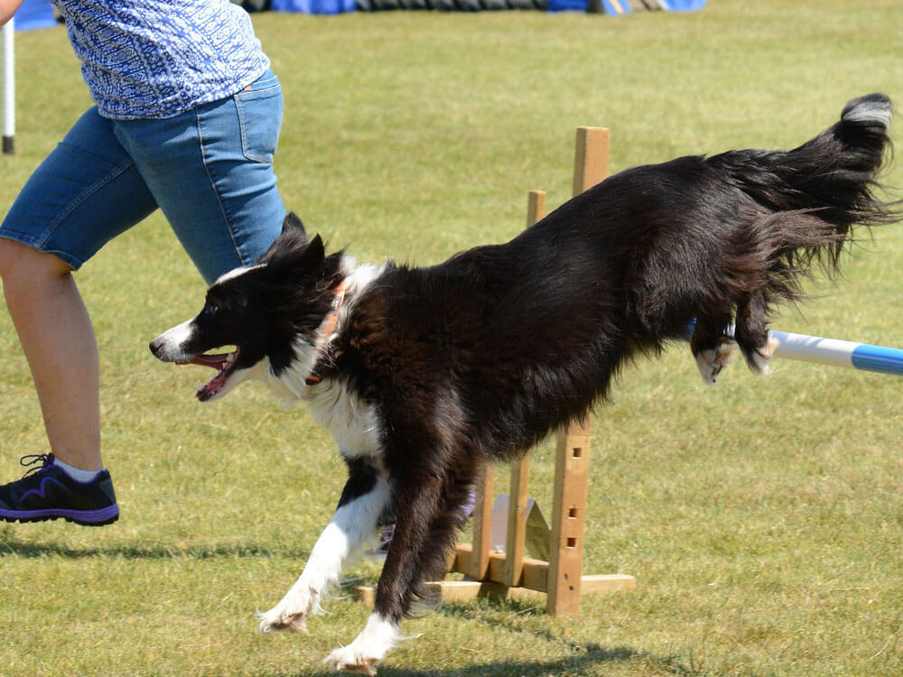 a border collie jumping for an agility competition